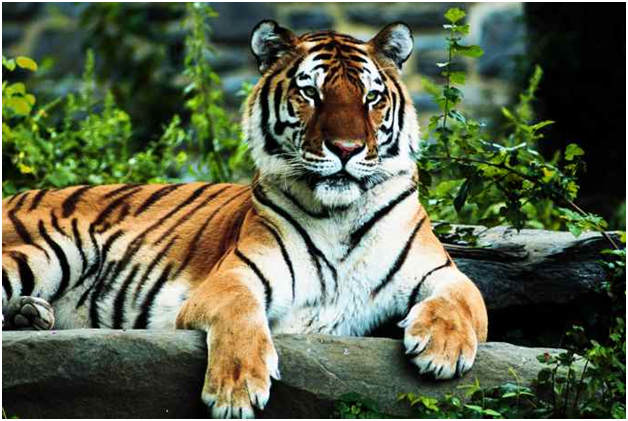 images of royal bengal tiger  Royal Bengal Tiger: The vulnerable pride of Sundarban - Academic ...